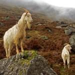Comeragh Goats