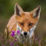 Fox in Heather